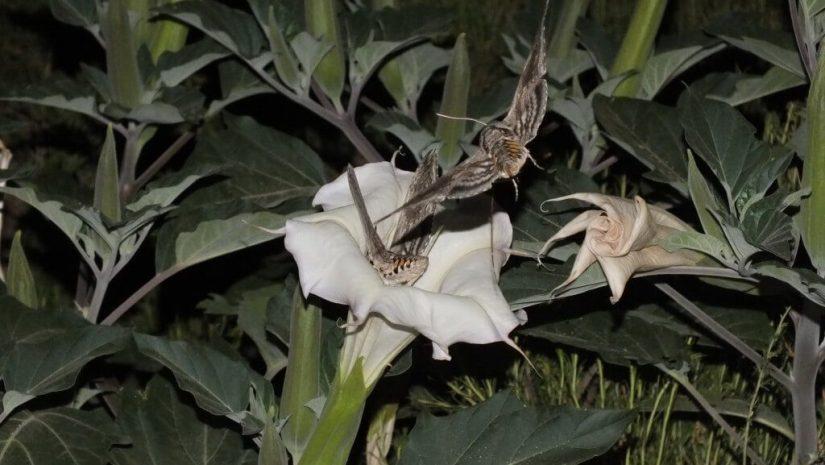 Tomato Hornworm Moths at night in Arizona