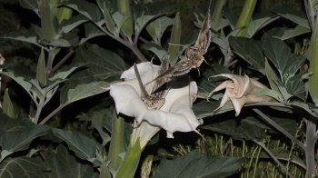 Tomato Hornworm Moths at night in Arizona