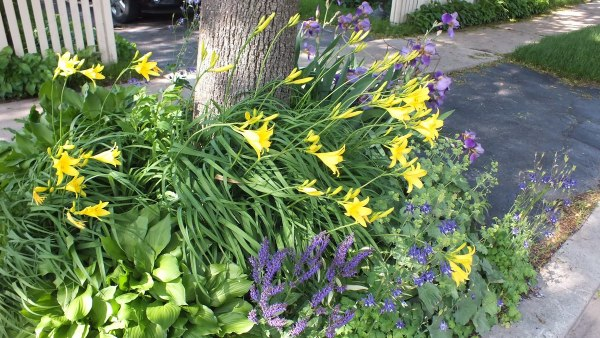 Yellow daylilies and purple irises - Toronto garden - Frame To Frame Bob & Jean