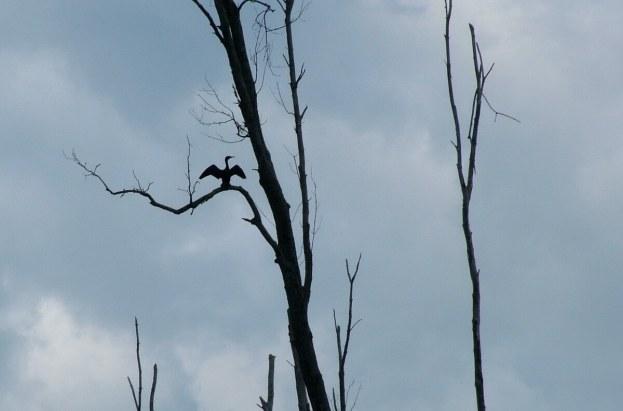 bird dries wings in minesing wetlands, ontario