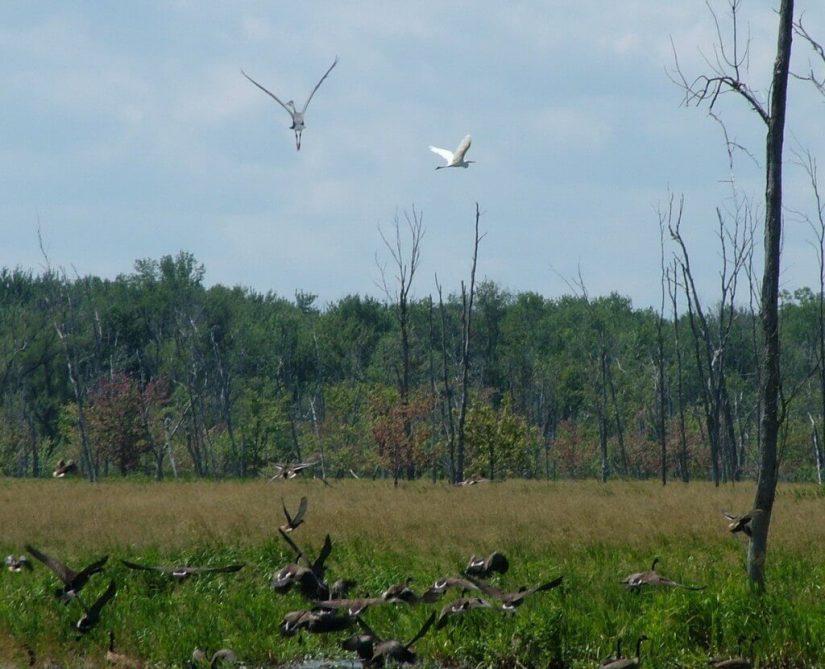 birds take flight above minesing swamp, ontario