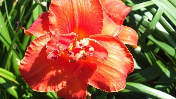double daylily - frilled - tangerine orange - Montreal Botanical Garden - Frame To Frame Bob & Jean