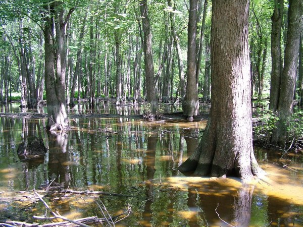 flooded forest along the nottawasaga river, ontario