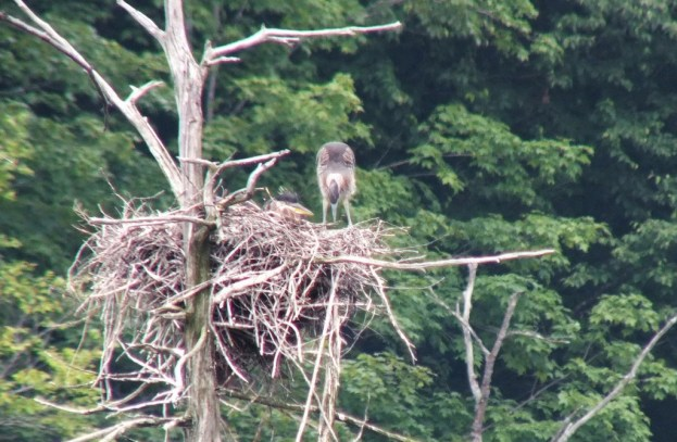 great blue herons in nest, oxtongue lake rookery