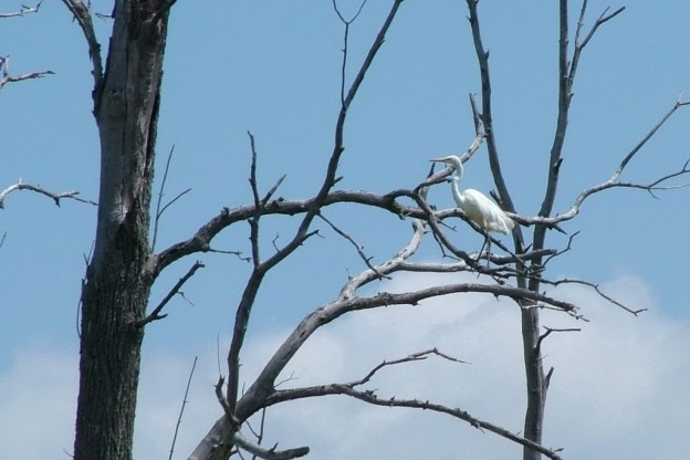 great egret on tree limb, minesing swamp, ontario, frame to frame bob and jean