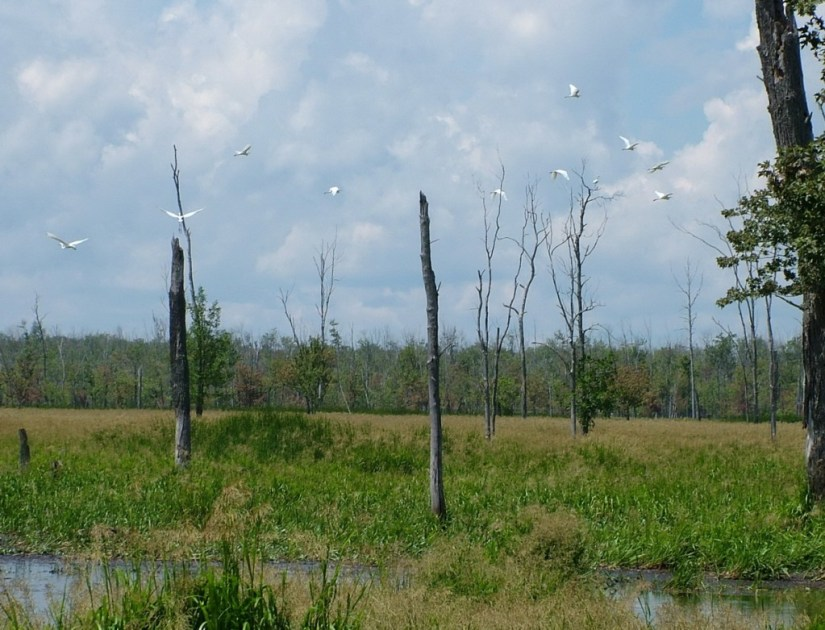 great egrets in flight above the minesing swamp, ontario