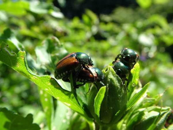 japanese beetle - frame to frame bob & jean