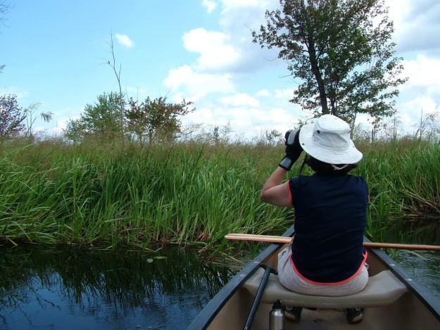jean spots Black-crowned Night Heron, minesing swamp, ontario