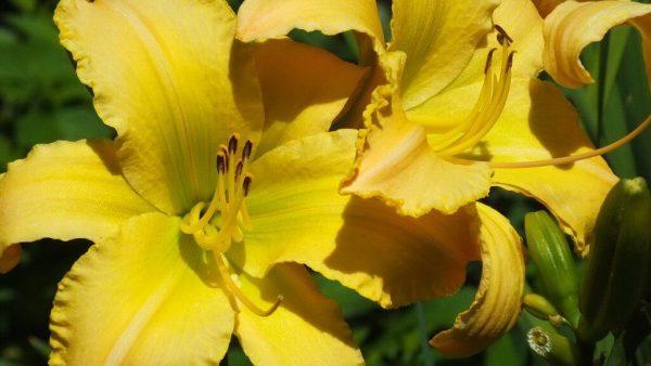lemon yellow daylilies - Montreal Botanical Garden - Frame To Frame Bob & Jean