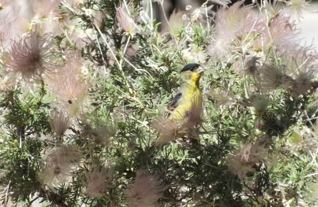 lesser goldfinch, male, profile - near Bright Angel Lodge, Grand Canyon, Arizona