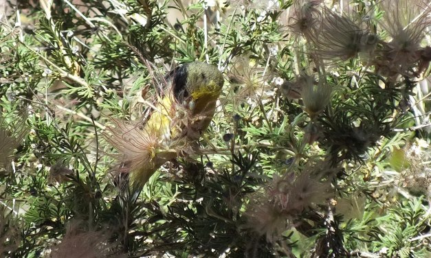 lesser goldfinch, male, pulling at plant matter, near Bright Angel Lodge, Grand Canyon, Arizona