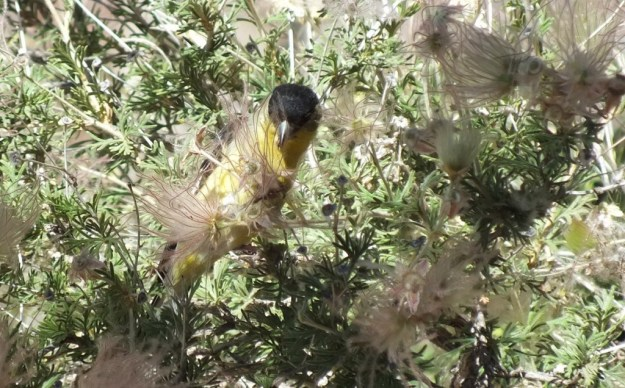 lesser goldfinch, male, seed in peck, near Bright Angel Lodge, Grand Canyon, Arizona