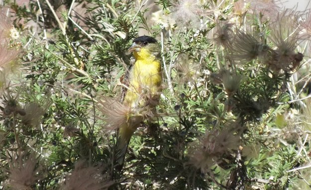 lesser goldfinch, male, with plant matter in peck, near Bright Angel Lodge, Grand Canyon, Arizona