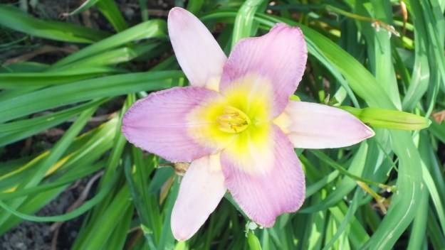 mauve Daylily - Montreal Botanical Garden - Frame To Frame Bob & Jean