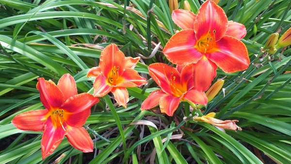 orange-red daylilies - Montreal Botanical Garden - Frame To Frame Bob & Jean
