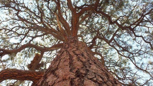 ponderosa pine - trunk and limbs - grand canyon national park, arizona, frame to frame bob and jean