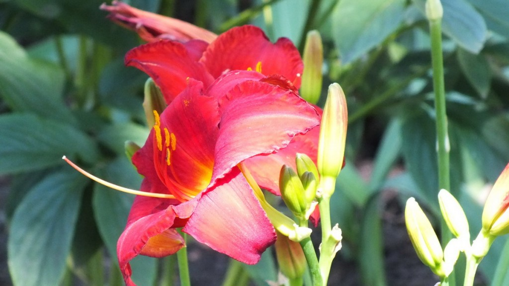Ruby red daylily growing at Montreal Botanical Garden in Montreal, Quebec, Canada