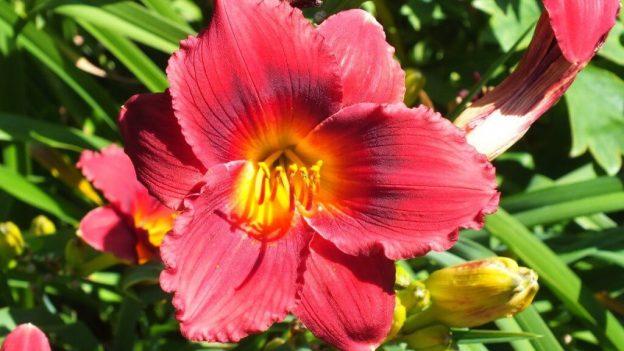 ruffled Coral daylily - Montreal Botanical Garden - Frame To Frame Bob & Jean