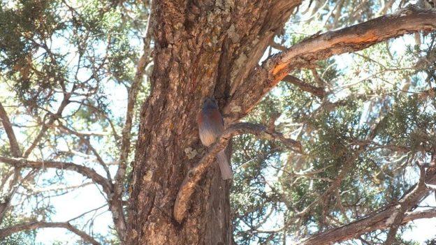 western bluebird, - grand canyon national park, arizona, frame to frame bob and jean