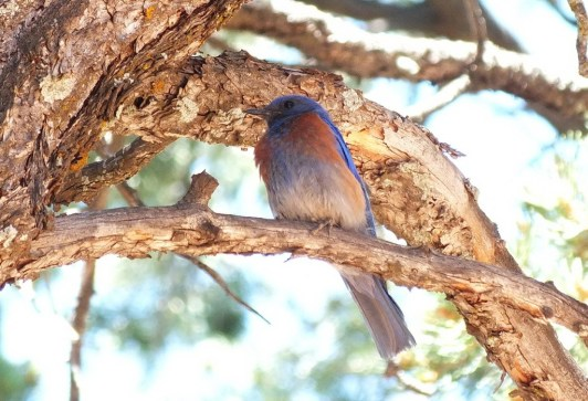 western bluebird, grand canyon national park, arizona, frame to frame bob and jean