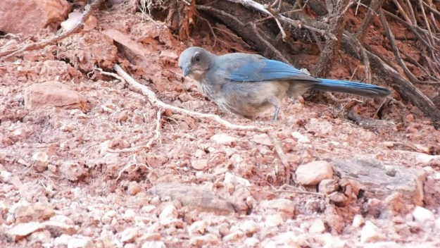 western scrub jay, looks to camera, bright angel trail, grand canyon