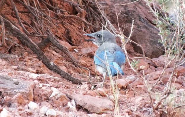 western scrub jays, along the bright angel trail, grand canyon