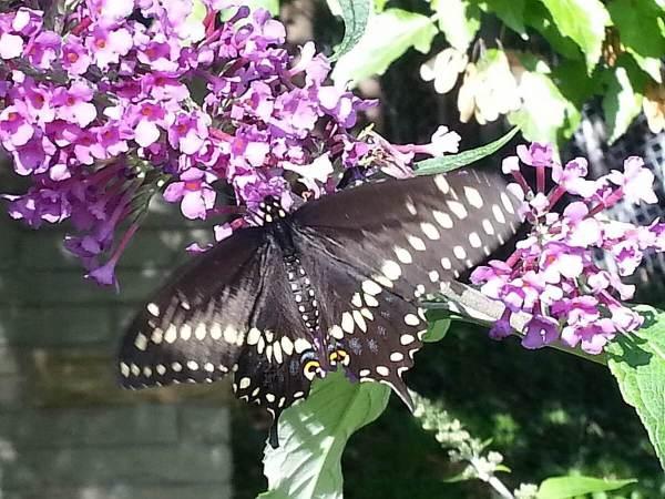Black Swallowtail butterfly - closeup - Rosetta McClain Gardens - Toronto - Frame to frame bob & jean