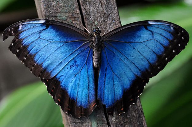 Blue Morpho, south america