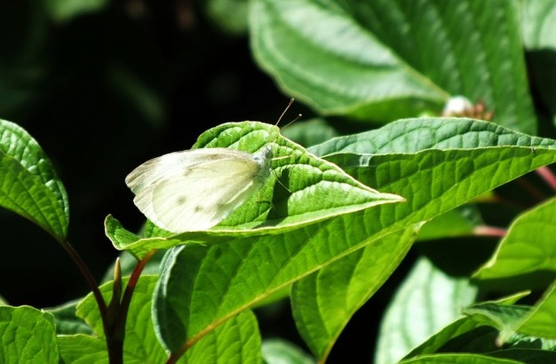 Cabbage White Butterfly, Rosetta McClain Gardens, Toronto, Ontario