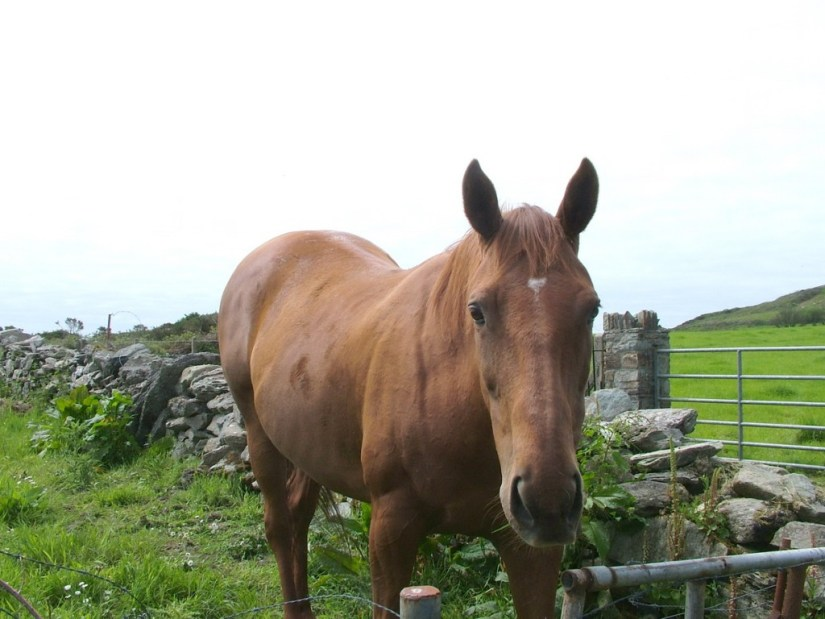 Coppinger's Court ruins, horse checks us out, county cork, Ireland