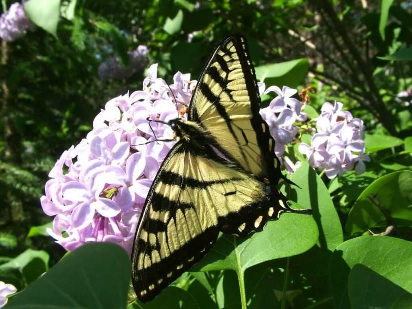Eastern Tiger Swallowtail, oxtongue lake, ontario, frame to frame bob & jean