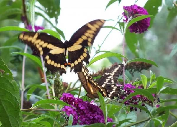 Giant Swallowtail butterflies on butterfly bush, toronto, ontario