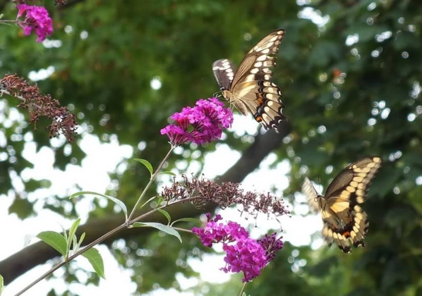 Giant Swallowtail butterflies, on butterfly bush, toronto, ontario