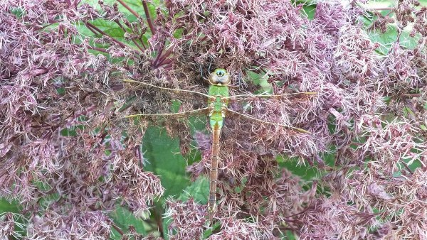 Green Darner Dragonfly - on pink flower - Rosetta McClain Gardens - Toronto