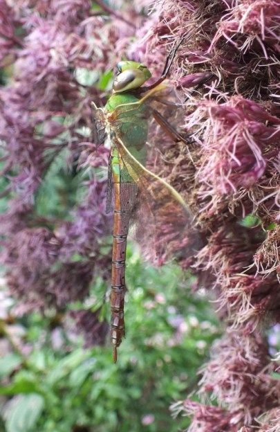 Green Darner Dragonfly - profile - Rosetta McClain Gardens - Toronto