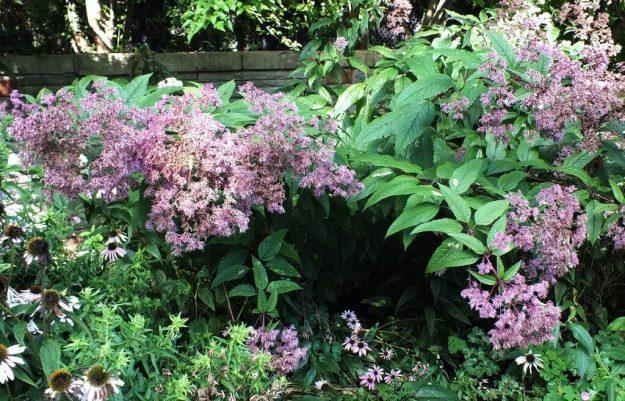 Green Darner Dragonfly - sits upon pink flower - Rosetta McClain Gardens - Toronto