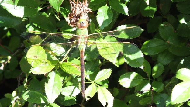 Green Darner Dragonfly - sitting on rose bush - Rosetta McClain Gardens - Toronto