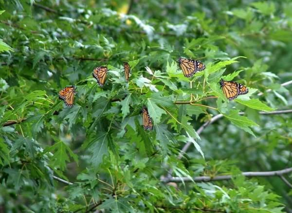 Monarch butterflies at Milliken Park - Toronto - Ontario