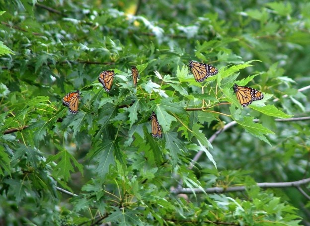 Monarch butterflies at Milliken Park - Toronto - Ontario