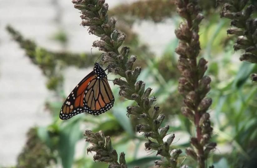 Monarch butterfly - Toronto - Ontario