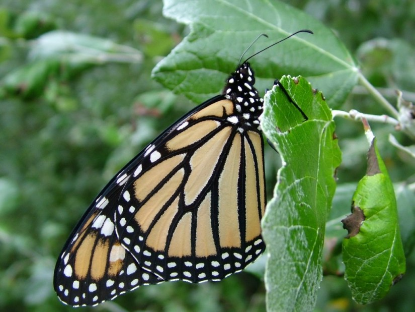 Monarch butterfly at Milliken Park - Toronto - Ontario