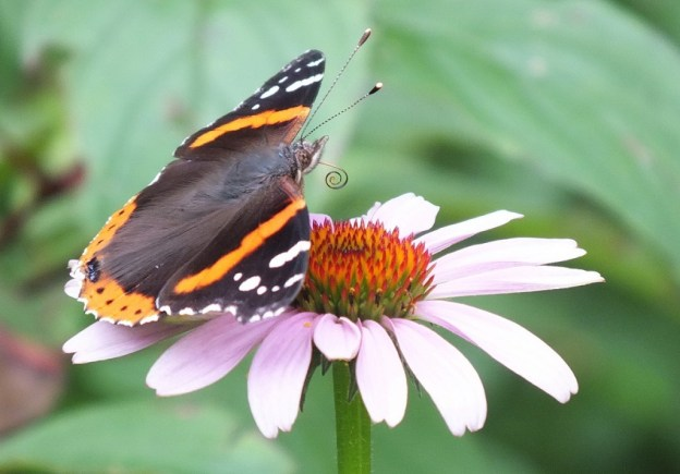 Red Admiral butterfly sitting on flower, jeans garden, toronto