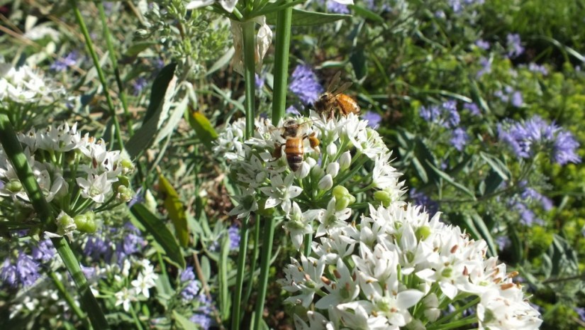 bees on white flowers - Rosetta McClain Gardens - Toronto