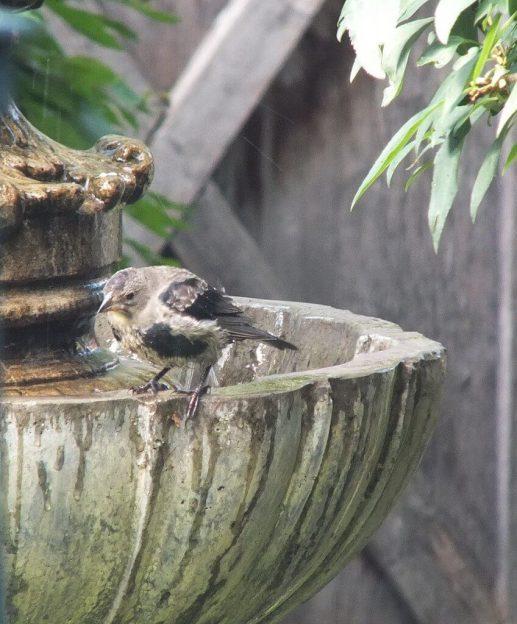 brown headed cowbird - juvenile - at fountain - toronto