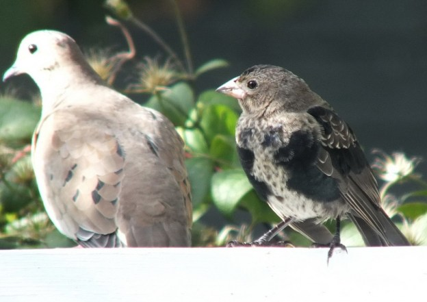 brown headed cowbird - juvenile - beside dove on arbour - toronto