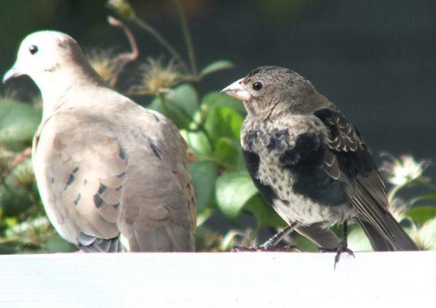 brown headed cowbird - juvenile - beside dove on arbour - toronto
