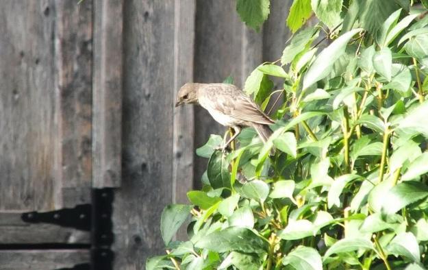 brown headed cowbird - juvenile - female - toronto
