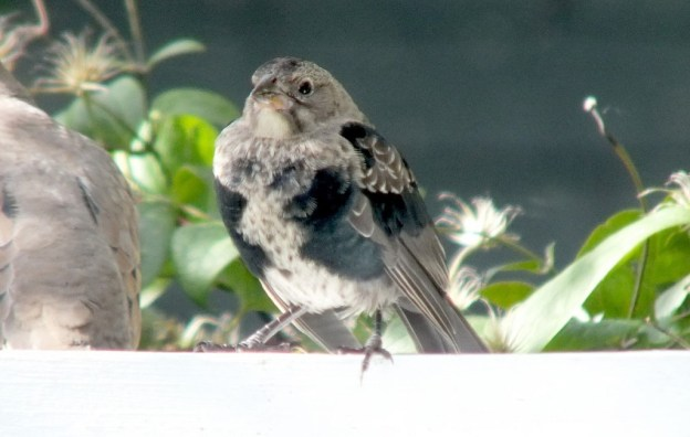 brown headed cowbird - juvenile - looks to camera - toronto