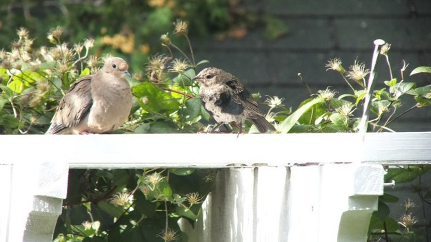 brown headed cowbird - juvenile - with dove on arbour - toronto