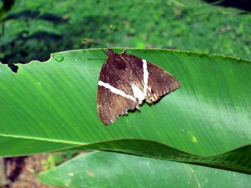 brown moth with v stripe, Sandoval lake, amazon jungle, peru, frame to frame bob and jean